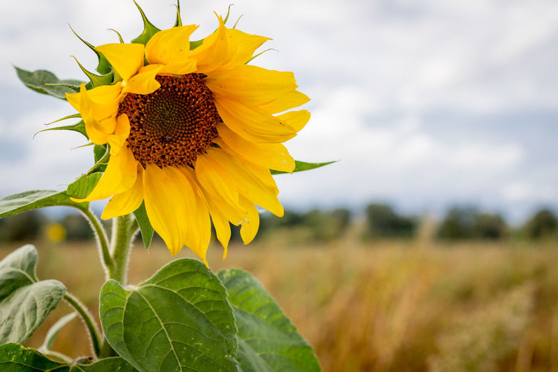 sunflower in late summer #sunflower Beauty In Nature Close-up Field Flower Leaf Nature No People Plant Sky Summer Sunflower Yellow First Eyeem Photo