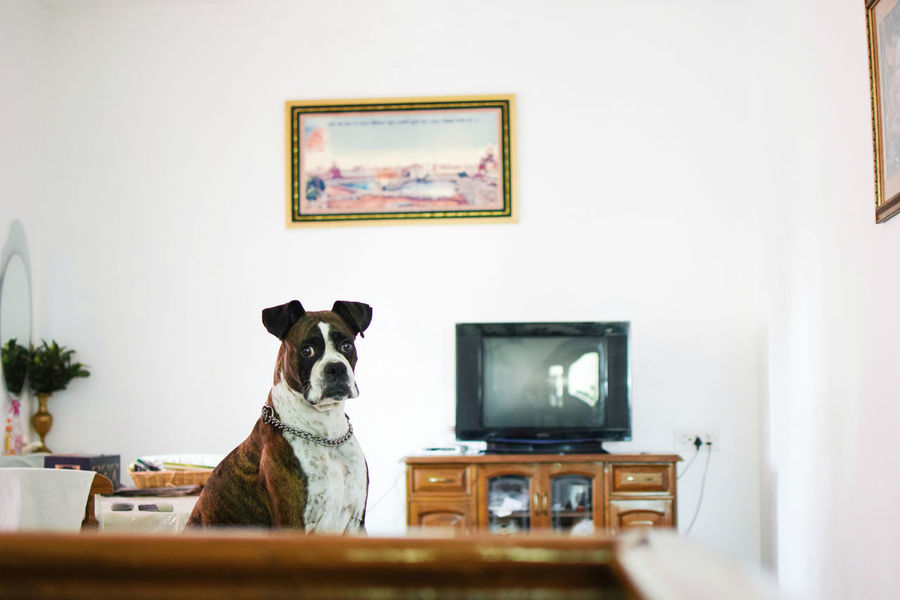 🐶👀🌄☕ InMakin! Boxer Dogs Pet Indoors  Paintings Art And Craft Picture Frame Home Interior Living Room My Unique Style Popular Photos Pet Photography  Cute Pets Dog Randomness Perspective Place Of Heart Pet Portraits