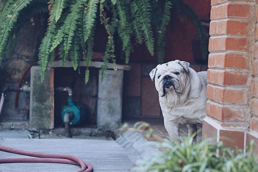 English Bulldog Dog Garden