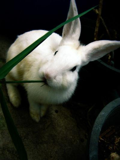 Animal Themes One Animal Domestic Animals Close-up Pets No People Mammal Indoors  Day Nature Rabbit ❤️ Samutprakarn In Thailand กระต่าย กระต่ายตัวน้อยๆ