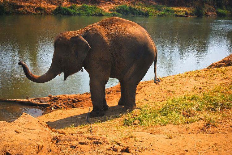 Animal Themes Animals In The Wild Day Domestic Animals Elephant Mammal Nature No People One Animal Outdoors River Riverbank Tree Water