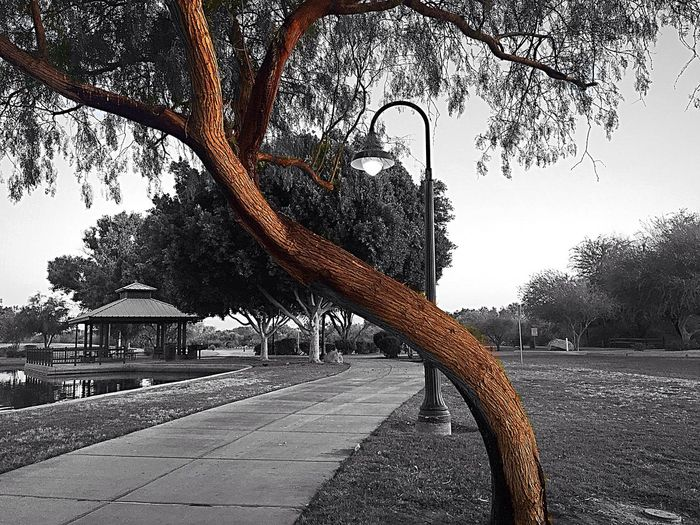 Taking my morning Walk enjoying the fresh cool air while it last, since it supposed to get 105° today🔥 Just Me. Enjoying The Morning Tranquil Scene Filter Fun With Iphone Park Lamp Tree Branch Fun With IPhone Black And White Photography West Wetlands, Yuma, AZ IPhone Photography Sunrise Morning Excercise Walk Tree Nature No People Outdoors