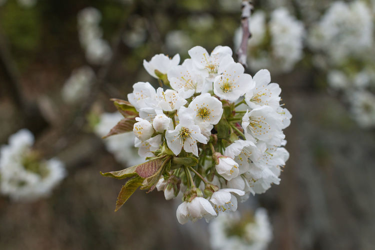 Flower Flowering Plant Plant Freshness Beauty In Nature Vulnerability  Growth Fragility White Color Close-up Focus On Foreground Day Petal Nature Tree Flower Head Inflorescence Blossom Springtime No People Cherry Blossom Pollen Outdoors Cherry Tree Spring