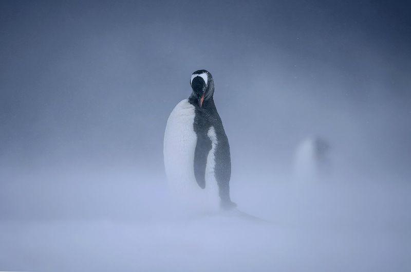 Full length of penguin on snow