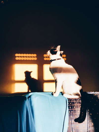 fotossíntese Cat Light Shadow Light And Shadow Sunset Animals Dark SamsungGalaxyS8 PhonePhotography Phonecamera Sun Home Cutepet Lines Perspective Aveiro Sunny Day Posing Catlovers Lovely Cute Mirror Reflection At Home Feline Domestic Cat Pets Kitten