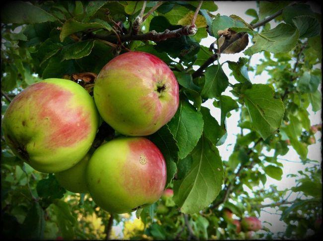Apple Tree Apple EyeEm Nature Lover