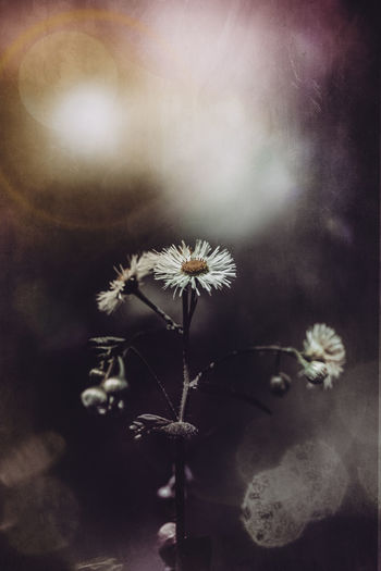 Flower Flowering Plant Plant Fragility Freshness Vulnerability  Beauty In Nature Close-up Growth Flower Head No People Nature Inflorescence Selective Focus Petal Auto Post Production Filter Plant Stem Day Outdoors Focus On Foreground Pollen #moody #Grunge #fineart #artistic #painterly #spring #light #texture