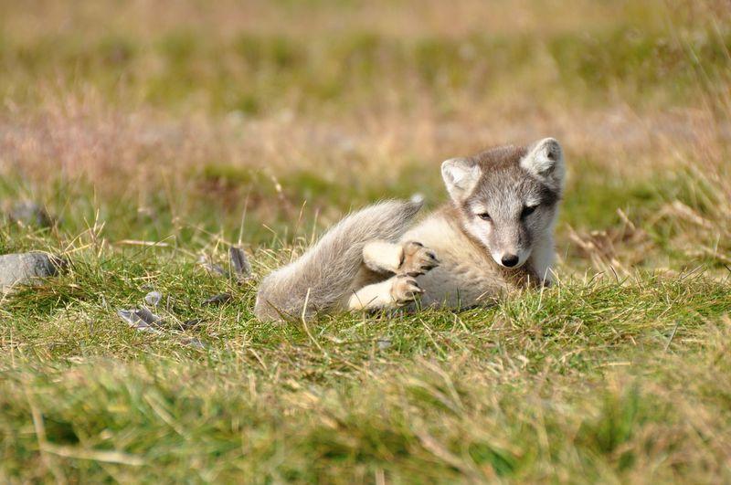 Fox relaxing on field