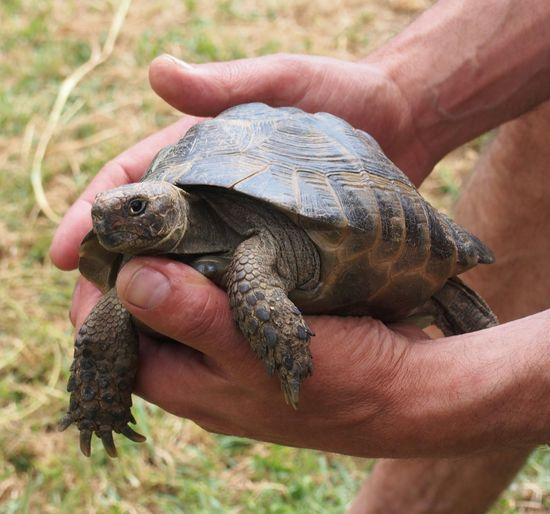 Cropped Hands Of Man Holding Tortoise On Field