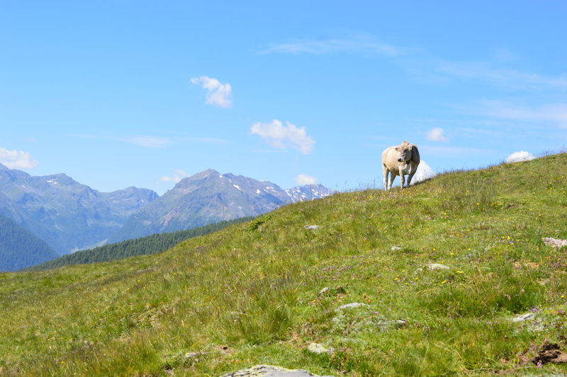 View of cow on landscape against sky