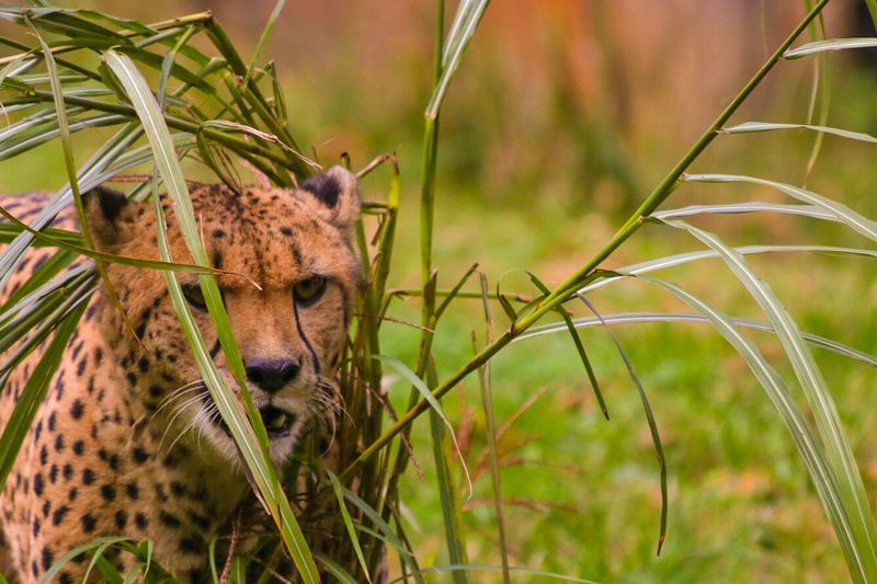 Close-up of cheetah on plant