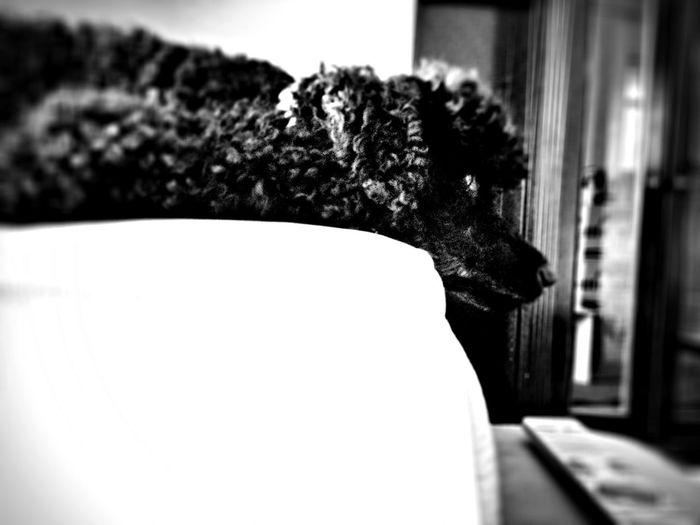 Dog Stanley