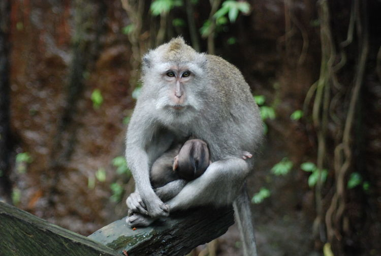 High angle view of monkey with infant sitting on wood