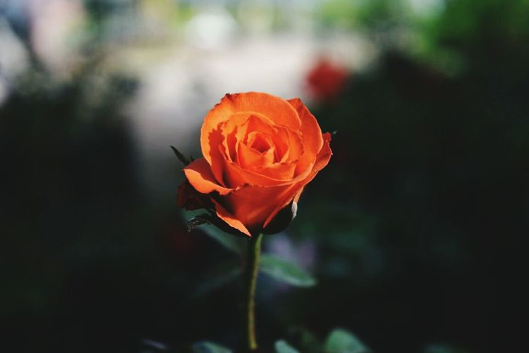 Orange Rose Freshness Early Morning Orange Golden Rose Beauty Light Up Your Life