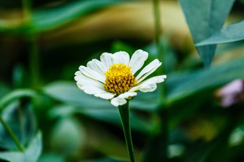 Flower Fragility Nature Petal Flower Head Beauty In Nature Freshness Growth Blooming Focus On Foreground Day No People Outdoors Close-up Zinnia