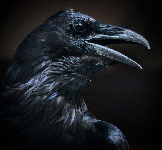 Raven - Bird