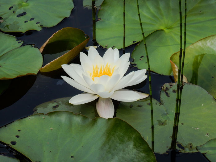 Close-Up Of Lotus Flower In Pond