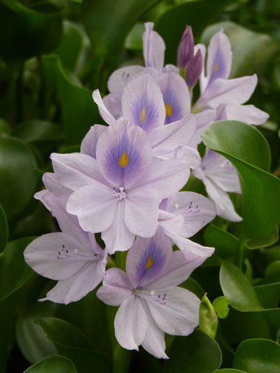 Common Water Hyacinth,Water Hyacinth Common Water Hyacinth Water Hyacinth Bloom Water Hyacinth Aleq Beauty In Nature Botany Close-up Flower Flower Head Flowering Plant Focus On Foreground Fragility Freshness Growth Inflorescence Leaf Nature No People Petal Plant Plant Part Pollen Purple Spring Vulnerability  Water Hyacinth Flower
