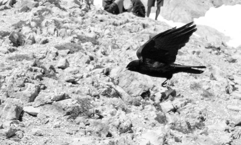 Blackandwhite Blackandwhite Photography Bw Day Daylight Bird Flight Flying Fly Feathers Wing Wildlife Avian Wild Animal Spread Wings