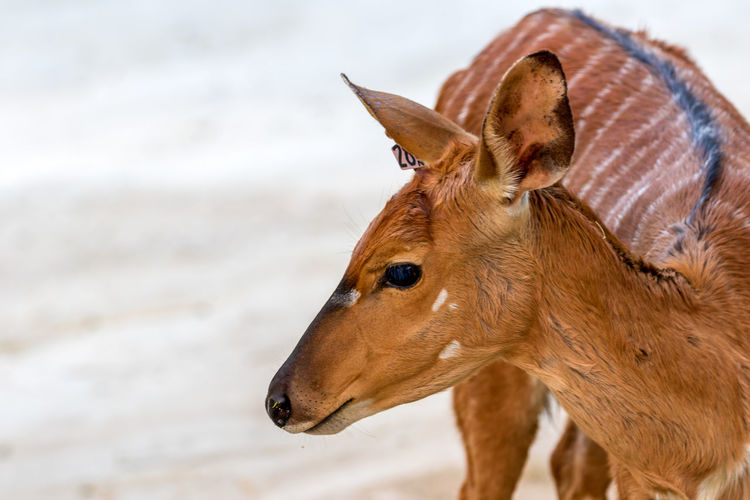 Animal Animal Themes Mammal One Animal Animal Wildlife Brown Focus On Foreground Animals In The Wild Close-up No People Vertebrate Animal Body Part Day Looking Domestic Animals Land Nature Animal Head  Herbivorous Side View Profile View