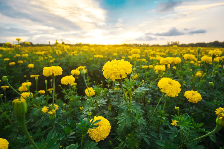 Flower Yellow Nature Field Sunflower Agriculture Growth Flower Head Beauty In Nature Summer Cloud - Sky Rural Scene Plant Freshness Crop  Outdoors Uncultivated Sky Day Abundance