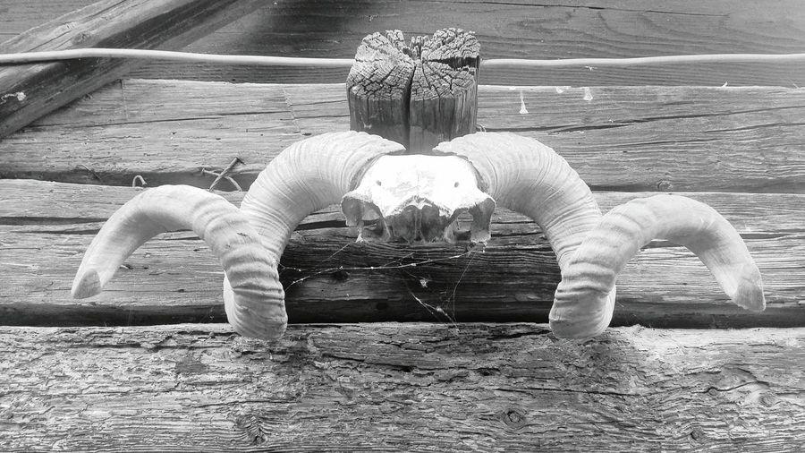 Blackwhite Black&white Blackandwhitephotography Black And White Photography Black And White Blackandwhite Photography Black & White Blackandwhite Things Skull Skulls Skulls And Bones Skullhead Skull Face Skulls♥ Skulls💀 Skull Art Skullface SkullOfTheDay Skullart Skulls & Bones Skulls 💀 Skully Horns