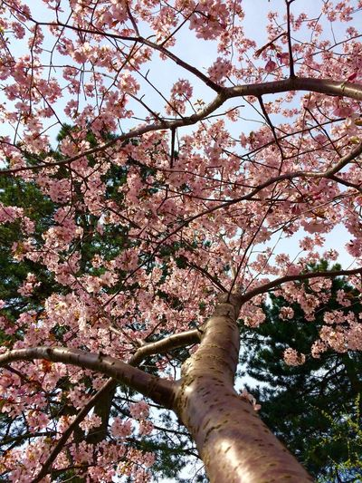 Cherry Blossoms Cherry Tree Ascending Perspective Springtime Spring Has Arrived Beauty In Nature Pink Color Pink Flower