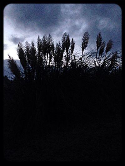 Pompus grass at dusk! ? StreamzooNature StreamzooPics StreamzooBeach Taking Photos