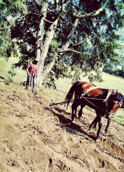 Horses Seeds Tree Farmer Huixquilucan Motox Working
