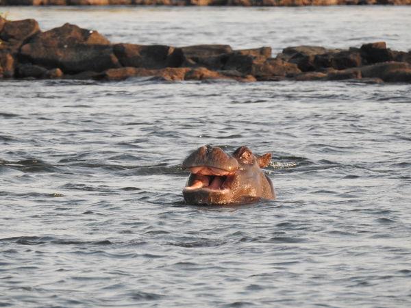 Smile Hipopotam Water Animal Themes Animals In The Wild Hippo Beauty In Nature Nature One Animal No People Animal Wildlife Smyle Mouth Open Happy Happy Animal Tgif Safari Animals Game Nikon P900