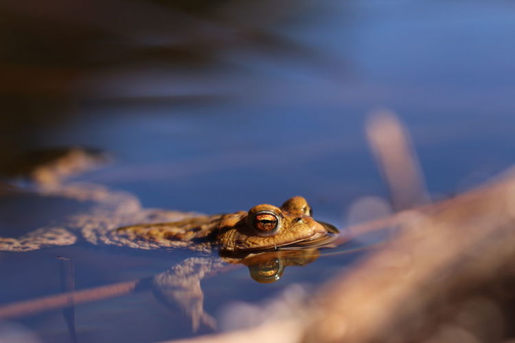 Relaxing in the water One Animal Animal Wildlife Reflection Animal Themes Animals In The Wild Water Reptile Outdoors Swimming Lake Nature No People Day Close-up Toad Animal Eye