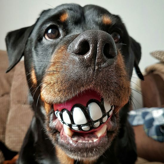 Dog Domestic Animals One Animal Pets Close-up Looking At Camera Focus On Foreground Mammal Front View Animal Nose Snout Dogs Of EyeEm Rottweilergirls Rottweilerlife Cute Dog  RottWeilers Doglover Bestfriend RottweilersofeyeEm Dogoftheday Ball Is Life Dogtoy Teeth Rottweiler Petportraits