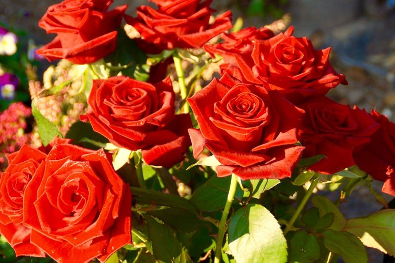 Red Roses 134054 Roses Are Red Roses Flowers Garden Flowers Garden Roos