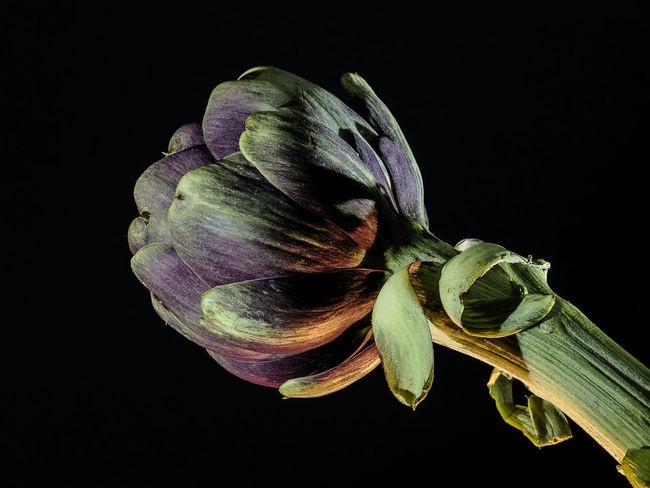 Artichoke on a black background StillLifePhotography Studio Light Artichoke Black Background Close-up Flower Flower Head Fragility Freshness Indoor Photography Indoors  Nature No People Still Life Studio Photography Studio Shot Studiophotography