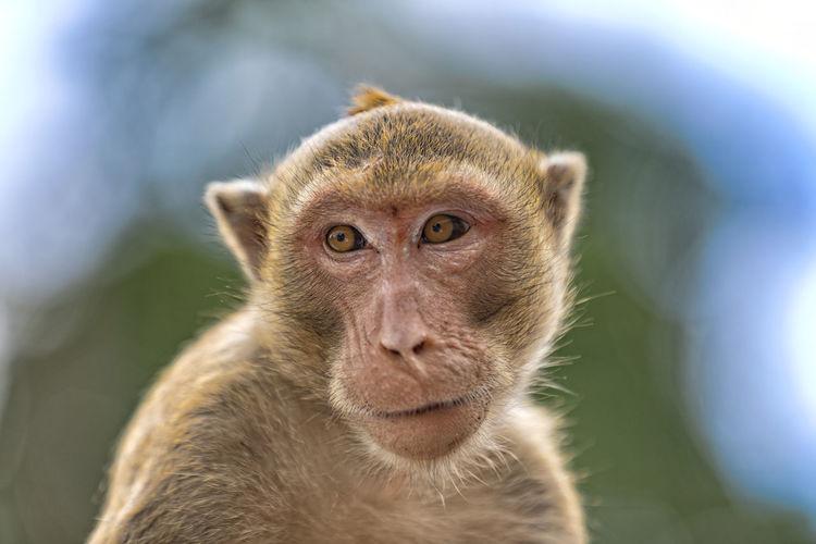 Monkey on the hill of  hua hin