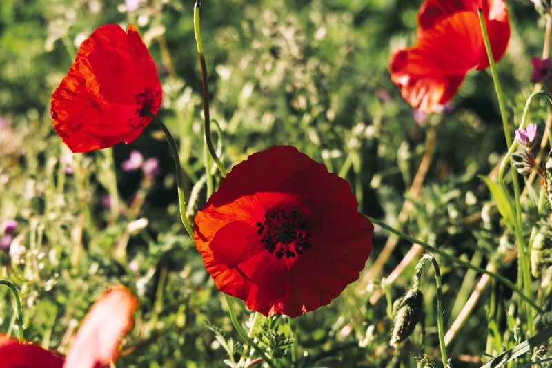 Plant Flower Beauty In Nature Red Freshness Flowering Plant Fragility Flower Head Growth Inflorescence Close-up Focus On Foreground Day Poppy Human Hand Nature Petal Human Body Part Vulnerability  Hand