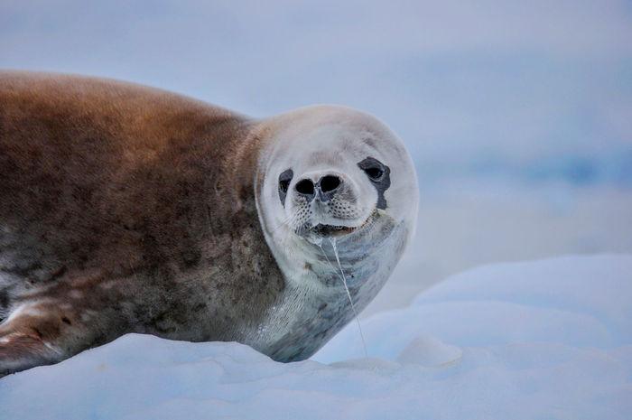 Wildlife Nature Antarctica Tranquil Scene Snow Mountain Sea Ice Seal Weddel seal on ice in Antarctica.