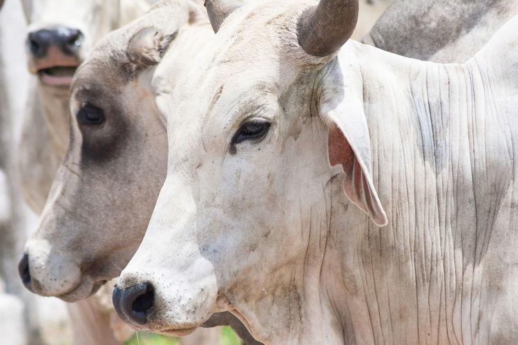 Close up shot of a cebu bull head. Animal Animal Head  Animal Themes Bull Cattle Cebu Close-up Colombia Cow Cows Day Domestic Animals Farm Food Headshot Industry Livestock Mammal Meat No People Outdoors Ranch Sacrifice Slaughterhouse