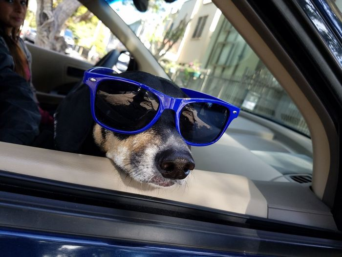Dog wearing sunglasses by woman sitting in car