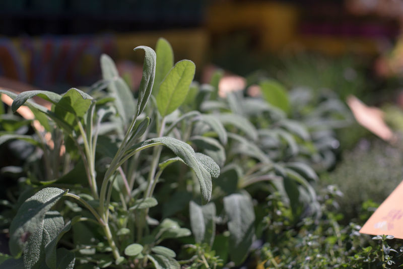 Sage plant green leaf close up Agriculture Beauty In Nature Close-up Day Focus On Foreground Fragility Freshness Green Green Color Greenhouse Growth Herb Leaf Market Nature No People Outdoors Plant Sage Spice