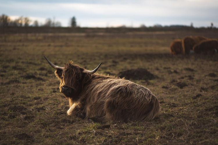 Scottish Highland Cattle near Augsburg, Bavaria, Germany Agriculture Bavaria Farm Farm Life Pasture Rinder Scottish Highland Cattle Scottish Highland Cow Viehweide Weide Bayern Cattle Herding Cattle Run Cow Landwirtschaft Pasturage Rind Schottisches Hochlandrind