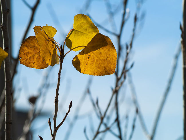 Autumn Autumn Colors Autumn Leaves Copy Space EyeEm Selects EyeEmNewHere Fall Colors Nature Tree Change Ecology Environment Fall Landscape Leaf Leaves Leaves_collection Nature_collection Organic Poplar Leaves Poplar Tree Populus Season  Space For Text