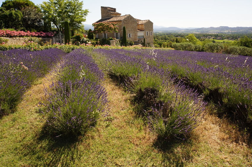 Architecture Beauty In Nature Field Flower France Landscape Lavender Outdoors Plant Provence Purple Vacation