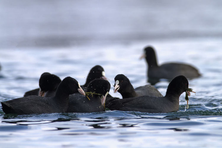 The eurasian coot on a lake in winter, soderica, croatia