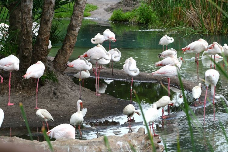 Flamingos Bird Wildlife Flock Of Birds Nature Wildlife Photography Water Birds Togetherness Animal Themes Flamingo Flamingos Pink Birds Pink Bird Tropical Florida Long Legs Feathers