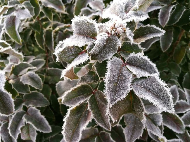 Growth Green Color Frost Ice Needles Ice Cold Freezing Tree Bush Leaves Nature Plant No People Close-up Beauty In Nature Day Outdoors Fragility Winter Cold Temperature Flower Head Freshness