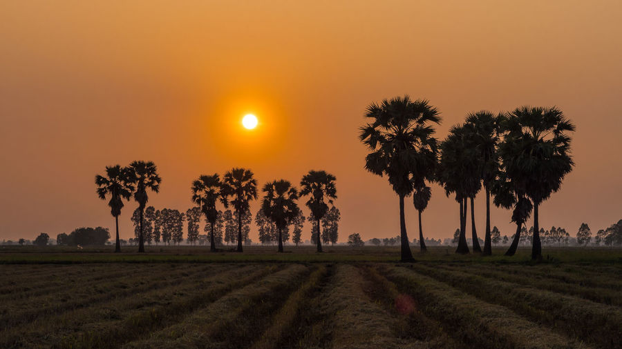 Sugar palm tree in rice field and sunset Beauty In Nature Environment Field Growth Idyllic Land Landscape Nature No People Orange Color Outdoors Palm Tree Plant Rice Field Scenics - Nature Silhouette Sky Sugar Palm Sun Sunset Tranquil Scene Tranquility Tree Treelined Tropical Climate