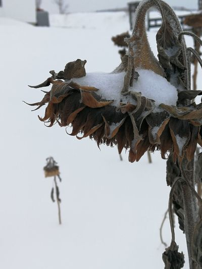 Dry Sunflower Sunflower Deepoffield Winter Outdoors No People Day Snow Nature Cold Temperature Close-up