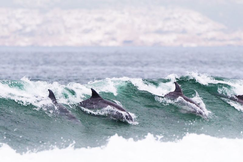 Dolphins in the surf Wave South Africa Beauty In Nature Dolphins In The Wild Dolphins Surf Water Waterfront Motion Day Nature Wave Sea Beauty In Nature Scenics - Nature