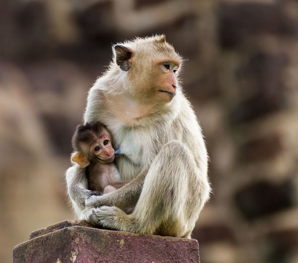 Baby monkey and mother Primate Animal Wildlife Mammal Animals In The Wild Group Of Animals Young Animal Two Animals Sitting Togetherness People Focus On Foreground Animal Family Child Rock Solid Vertebrate Care Positive Emotion